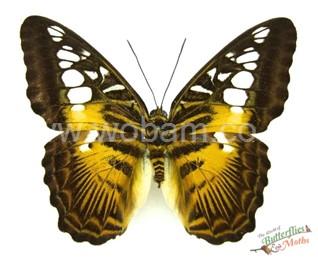 COLLECTION unmounted butterfly Nymphalidae Sasakia charonda CHINA A1
